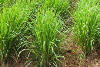 Trawa cytrynowa (palczatka cytrynowa)