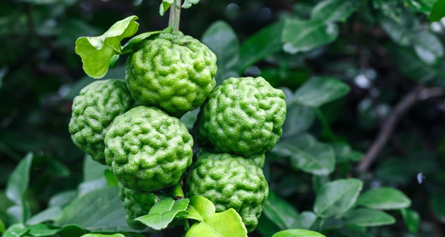 Bergamotka (pomarańcza bergamota)