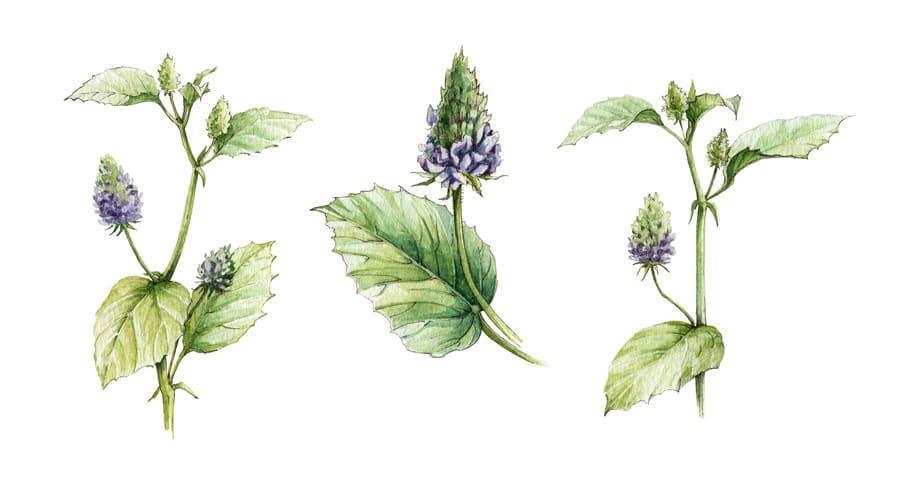 Babći (psoraela corylifolia)