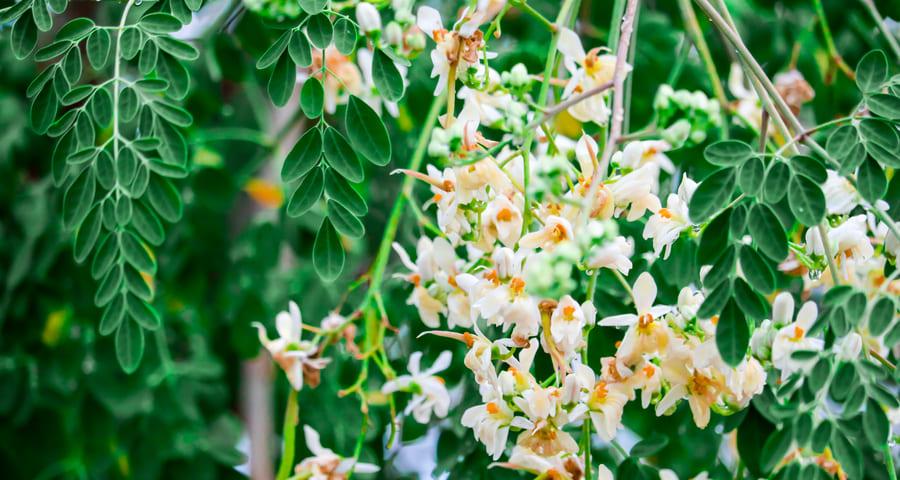 Moringa olejodajna (Moringa oleifera)