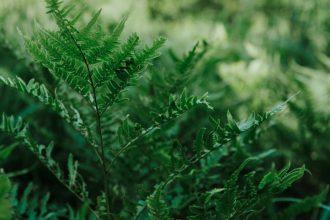 Paproć leśna (nerecznica samcza)